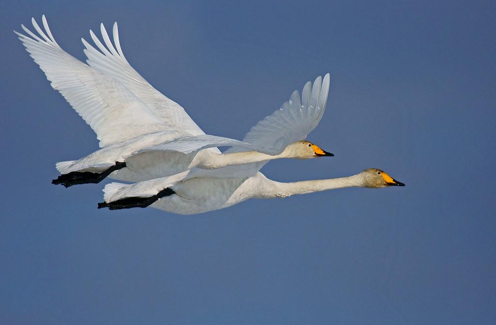 Летят лебеди фото