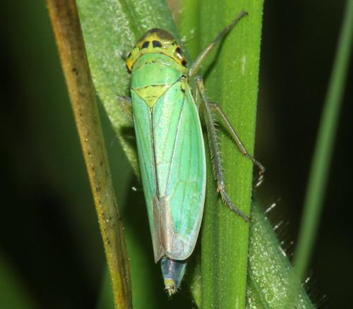 Cicadella viridis 0401