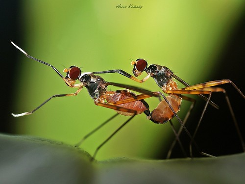 stilt legged flies (micropezidae)