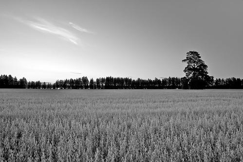 trees blackandwhite bw tree field barn zeiss suomi finland eos countryside country oats f28 oat ze suonenjoki 21mm carlzeiss kaura pelto canoneos5d aitta oatfield kaurapelto distagont2821 distagon2128ze