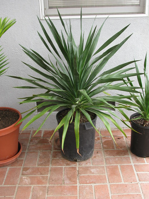 dracaena draco flickr photo sharing. Black Bedroom Furniture Sets. Home Design Ideas