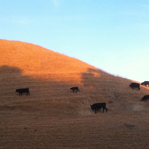 Hill bovine = hovine