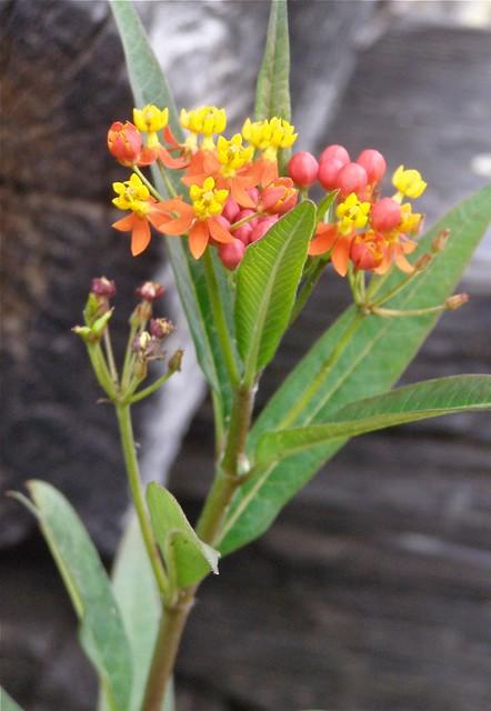 Mexican Milkweed | aka Asclepias curassavica. An ...