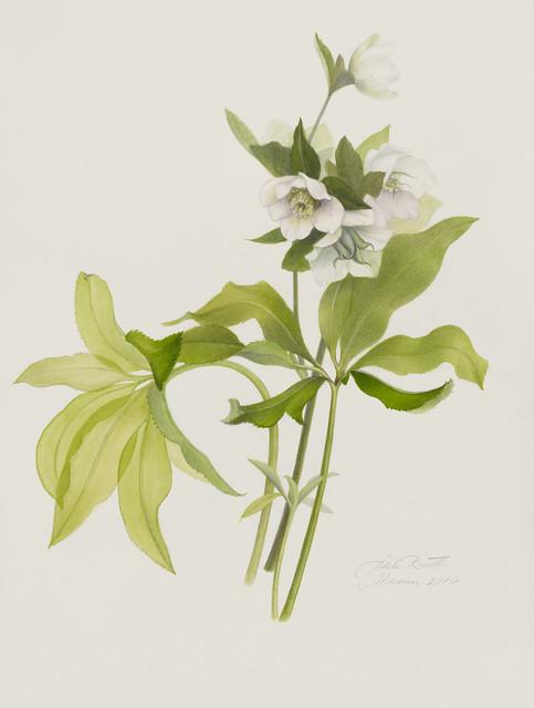 "Adele Rossetti Morosini, Helleborus niger, 2010. Rock Garden. Watercolor and mixed media on Arches hot press satin grain. 16"" x 12""."