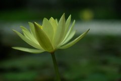 Bethesda by the Sea: Yellow Fountain Flower