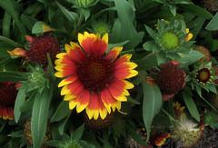gaillardia, annual plant, flower, plant, flora, petal,
