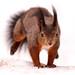 Jumping squirrel by Tambako the Jaguar
