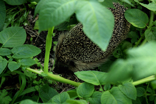 Hedgehog in the potato patch