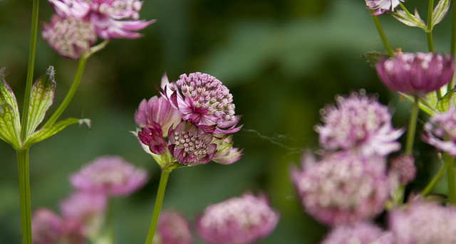 Astrantia Abbey Road 3