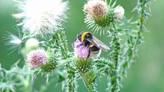 pollinator, animal, honey bee, pollen, flower, thistle, plant, nature, invertebrate, macro photography, membrane-winged insect, wildflower, flora, fauna, close-up, meadow, bee, bumblebee,