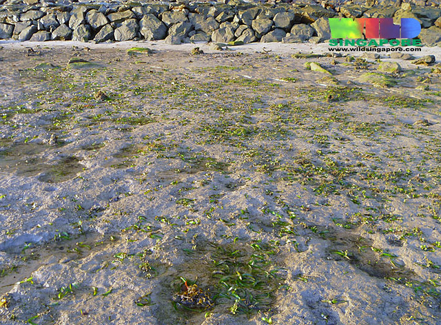 Sickle seagrass thalassia hemprichii flickr photo for Seagrass for landscaping