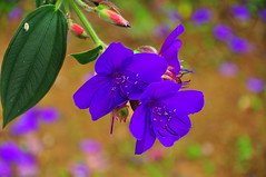 Thu, 07/14/2011 - 12:32 - Tibouchina is a genus of about 350 species of neotropical plants in the family Melastomataceae. They are trees, shrubs or subshrubs growing 0.5–25 m tall, and are known as glory bushes or glory trees. They are native to rainforests of Mexico, the Caribbean, and South America, especially Brazil. The name comes from an adaptation of the native Guiana term for these shrubs.