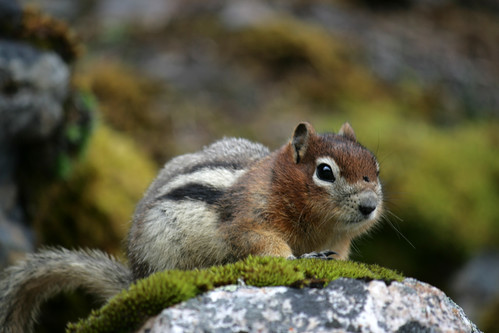 Chipmunk @ Lake Louise