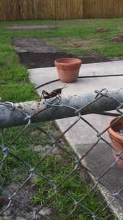 Lubber grasshopper video.