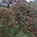 Rhododendron arboreum, Kathmandu Valley (Paul Stanbury)