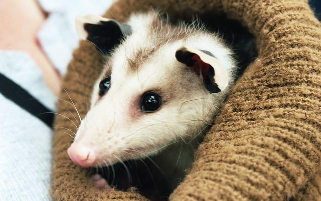 Awwww, Opossum!