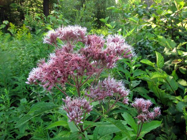 Eutrochium purpureum flickr photo sharing for Joe pye weed