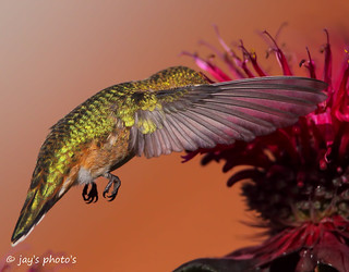 What a hummingbirds wing looks like if you can get it stopped got this one stoped at.1/5000 of a second