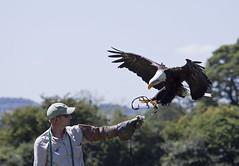 vulture(0.0), condor(0.0), wildlife(0.0), animal(1.0), bird of prey(1.0), eagle(1.0), wing(1.0), fauna(1.0), bald eagle(1.0), accipitriformes(1.0), bird(1.0),