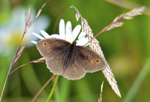 uk wild brown flower butterfly insect nikon norfolk meadow sigma maniola jurtina d5000 150500mm