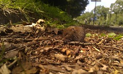 we just met this cuute little wood mouse along the sidewalk