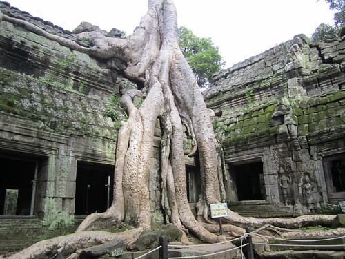 Tree at Ta Prohm