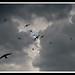 Swifts in a stormy sky