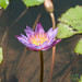 Water Lily at Madhabpur Lake - Bangladesh
