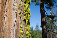 Big Tree, Big Moss
