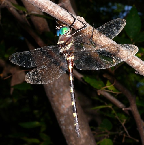 oklahoma dragonfly odonata mccurtaincounty macromiidae macromiaillinoiensis swiftrivercruiser redsloughwma