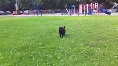 animal sports(0.0), player(0.0), dog sports(1.0), animal(1.0), dog(1.0), mammal(1.0), dog agility(1.0), lawn(1.0),