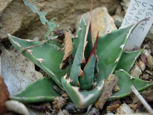 A127 agave utahensis v kaibanensis