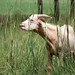 Goat Test 2011