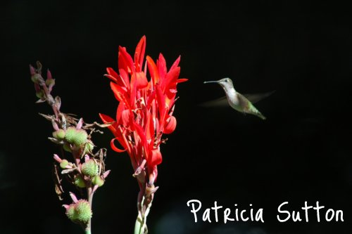 (small)Ruby-thoated Hummingbird on Canna by Pat Sutton-w-sig
