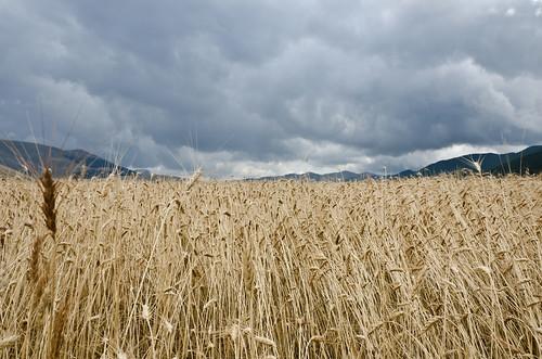 cielo minaccioso sul campo di grano...