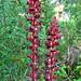 Slender Broomrape, Orobanche gracilis (Paul Harmes)