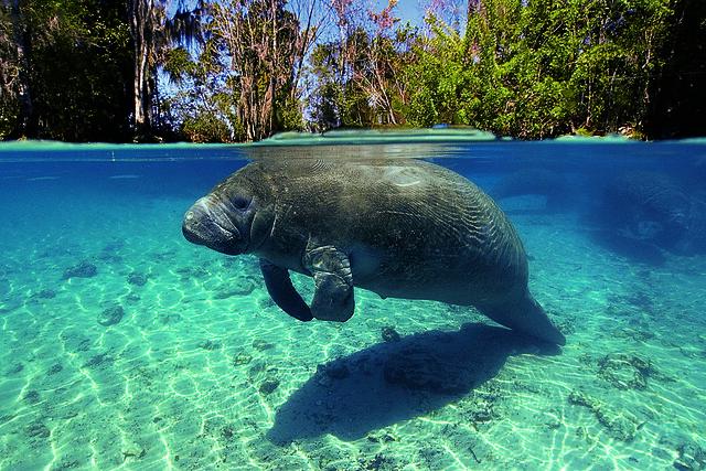Manatí en el Refugio Nacional de Vida Salvaje de Crystal River, Florida, Estados Unidos