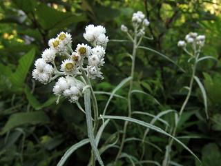 Anaphalis margaritacea / Pearly ...