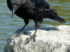 perching bird(0.0), cinclidae(0.0), rook(0.0), animal(1.0), wing(1.0), raven(1.0), crow(1.0), fauna(1.0), american crow(1.0), beak(1.0), bird(1.0), wildlife(1.0),