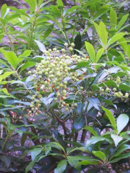 Pieris japonica v 4
