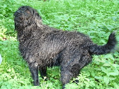 pumi(0.0), curly coated retriever(0.0), irish water spaniel(0.0), newfoundland(0.0), barbet(0.0), mudi(0.0), dog breed(1.0), animal(1.0), dog(1.0), pet(1.0), lagotto romagnolo(1.0), bouvier des flandres(1.0), cã£o da serra de aires(1.0), portuguese water dog(1.0), spanish water dog(1.0), carnivoran(1.0),
