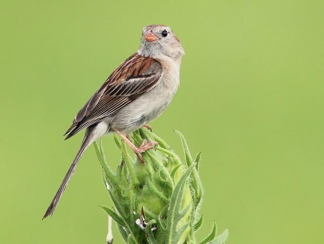 Field Sparrow 2-20110707
