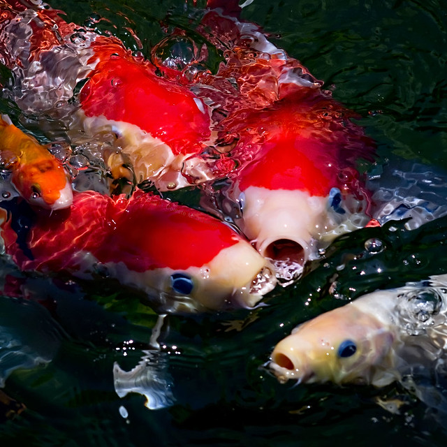 Koi feeding frenzy flickr photo sharing for Feeding koi fish