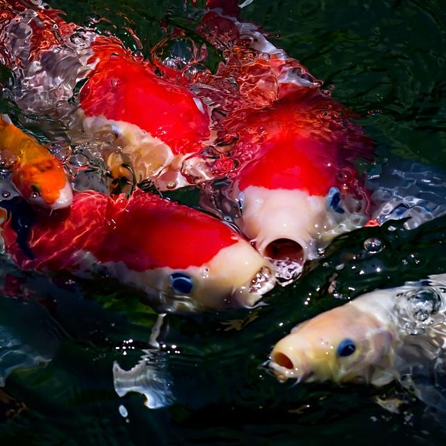 Koi feeding frenzy flickr photo sharing for Koi fish games