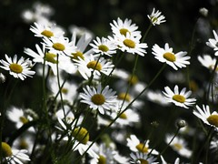 blossom(0.0), garden cosmos(0.0), chrysanths(0.0), flower(1.0), yellow(1.0), plant(1.0), marguerite daisy(1.0), chamaemelum nobile(1.0), tanacetum parthenium(1.0), daisy(1.0), macro photography(1.0), wildflower(1.0), flora(1.0), oxeye daisy(1.0), close-up(1.0), meadow(1.0), daisy(1.0), petal(1.0),