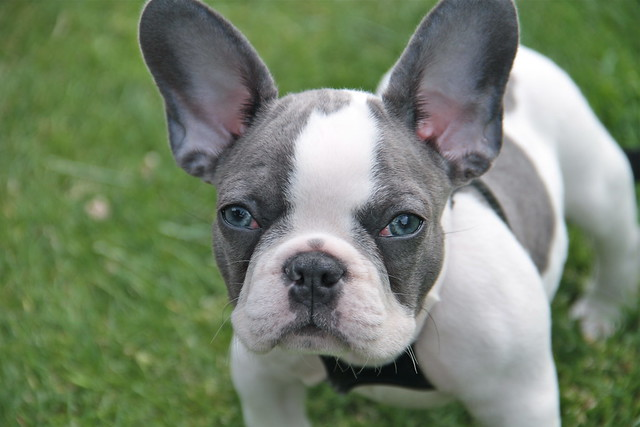 5931975260_82c4990ab8_z.jpg White Baby French Bulldog
