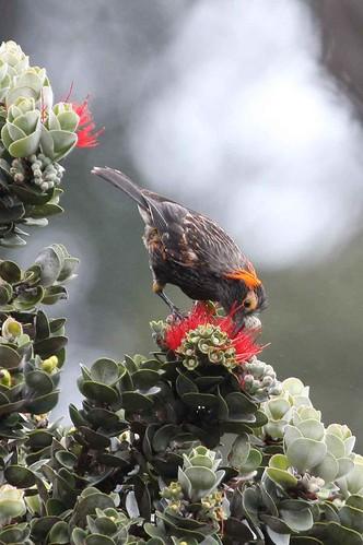 An ʻĀkohekohe drinks nectar from an ʻŌhiʻa blossom.