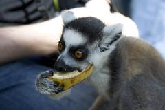 animal, mammal, fauna, lemur, close-up,