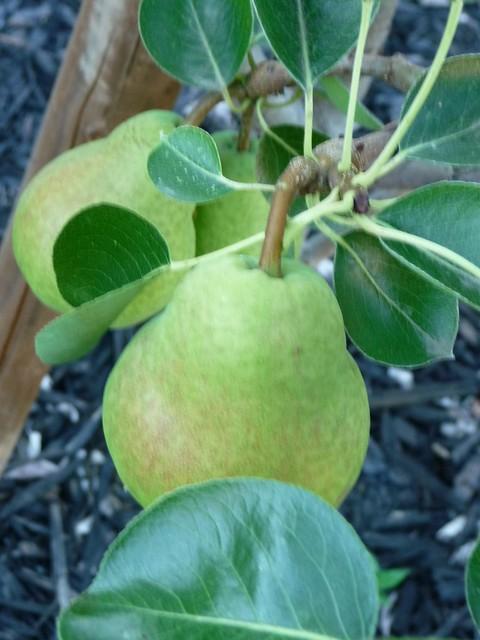 Dwarf Pears