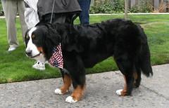 appenzeller sennenhund(0.0), hovawart(0.0), dog breed(1.0), animal(1.0), dog(1.0), pet(1.0), greater swiss mountain dog(1.0), entlebucher mountain dog(1.0), bernese mountain dog(1.0), carnivoran(1.0),